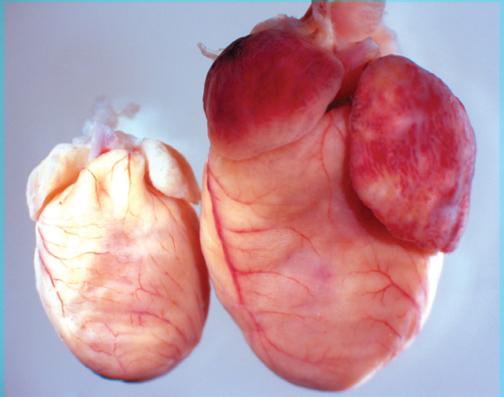 داروهای گیاهی درمان کننده بزرگ شدن قلب,داروهای درمان کننده گشادی قلب
